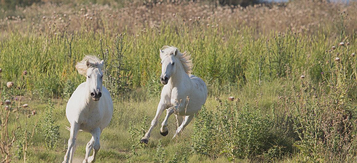 Wild horses in the Camargue